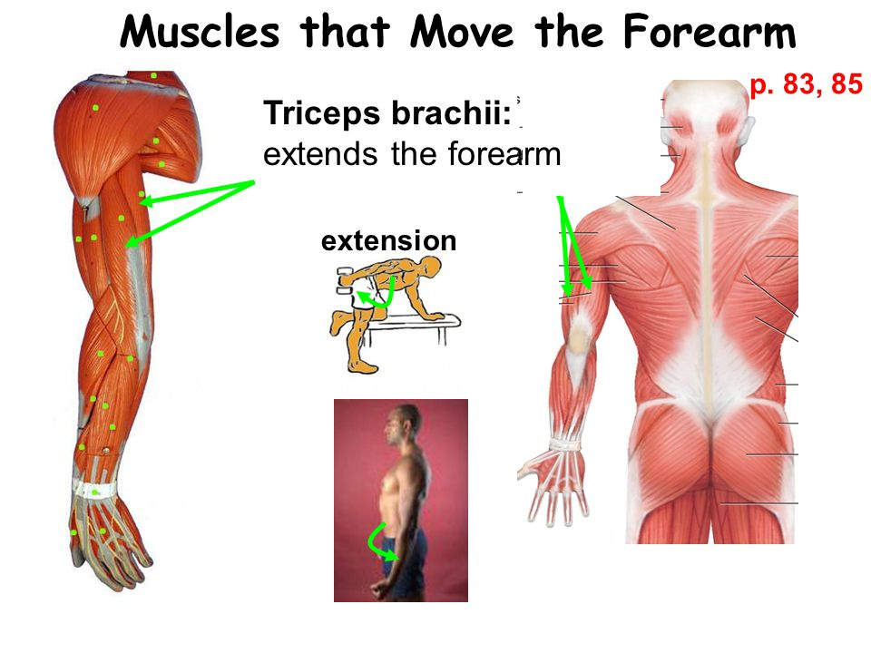 Muscles that Move the Forearm Triceps brachii: extends the forearm extension p. 83, 85