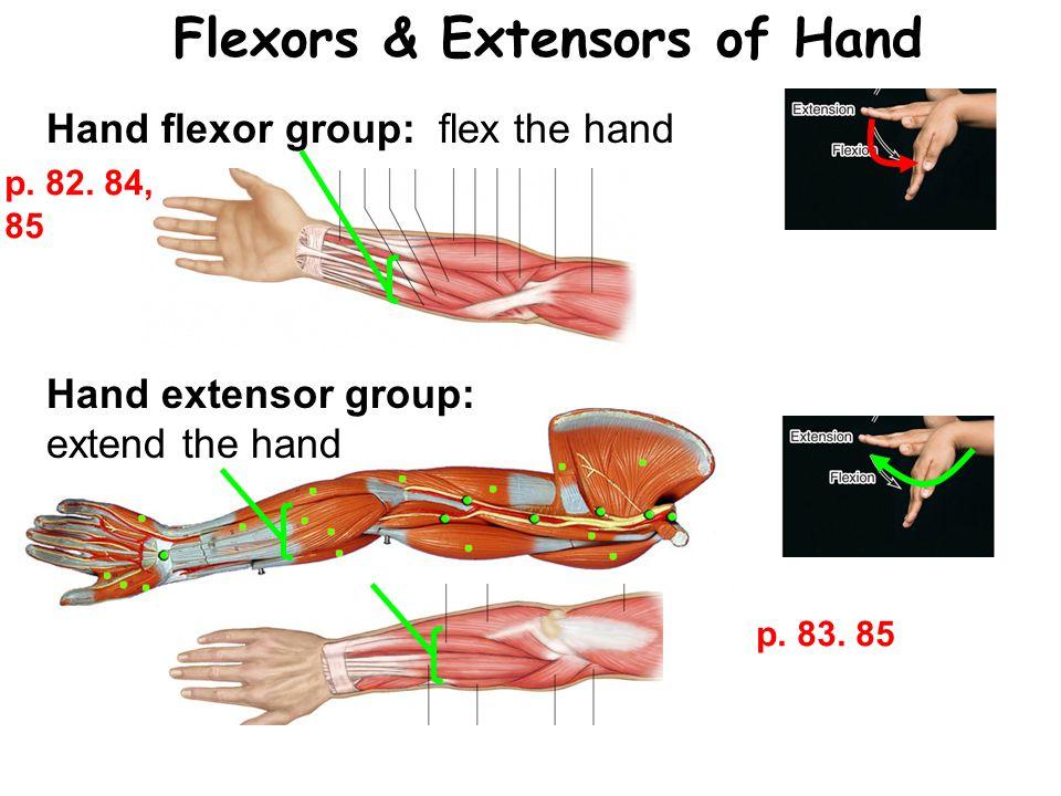 Flexors & Extensors of Hand Hand flexor group: flex the hand Hand extensor group: extend the hand p.