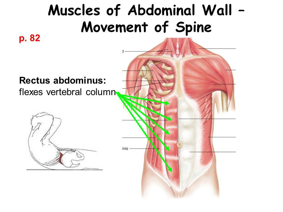 Muscles of Abdominal Wall – Movement of Spine Rectus abdominus: flexes vertebral column p. 82