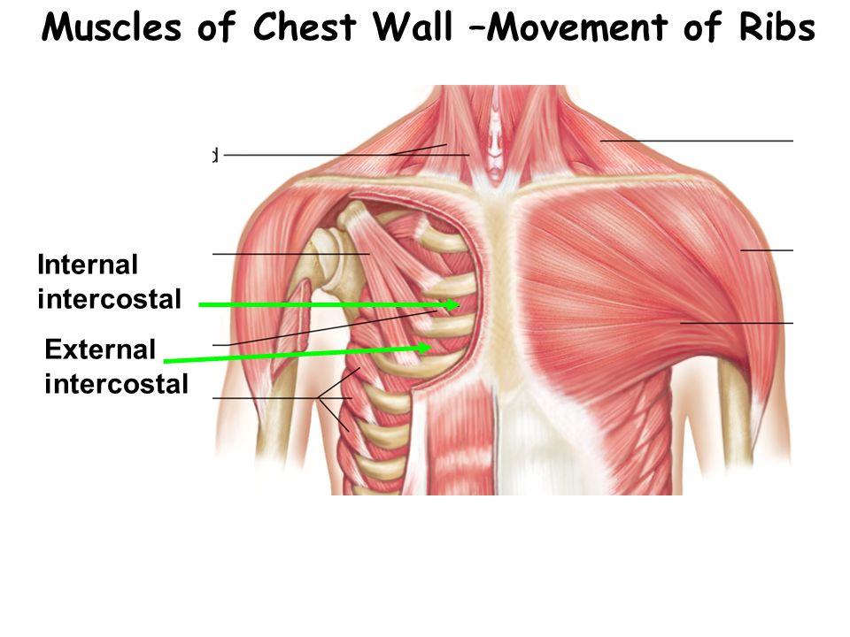 Muscles of Chest Wall –Movement of Ribs Internal intercostal External intercostal