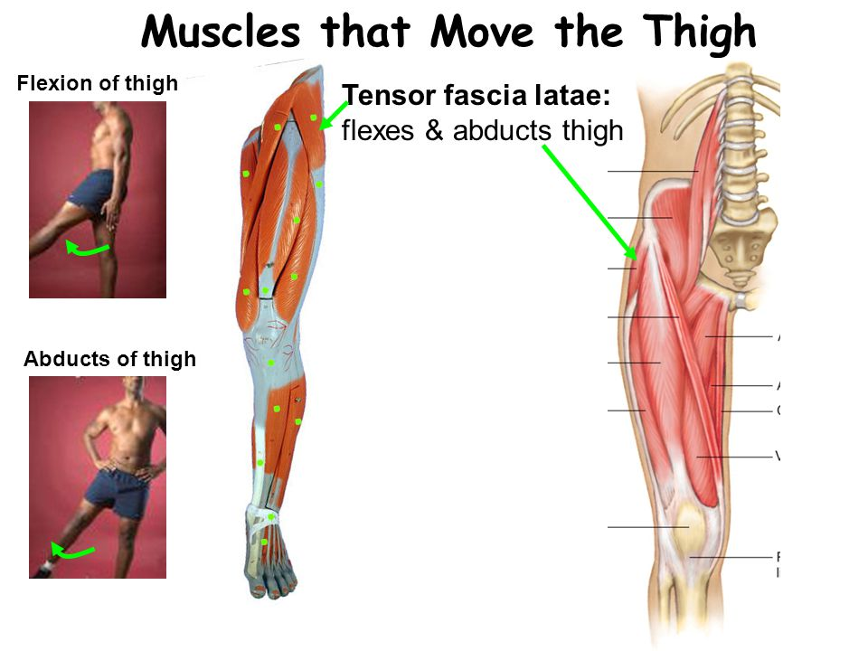 Muscles that Move the Thigh Flexion of thigh Abducts of thigh Tensor fascia latae: flexes & abducts thigh