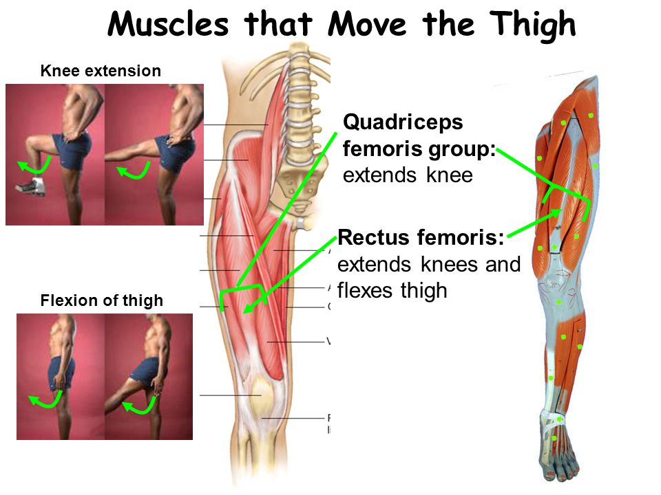 Muscles that Move the Thigh Quadriceps femoris group: extends knee Rectus femoris: extends knees and flexes thigh Knee extension Flexion of thigh