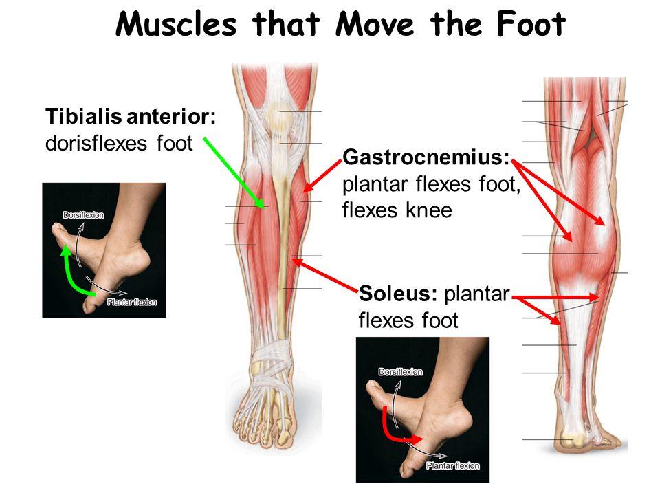 Muscles that Move the Foot Tibialis anterior: dorisflexes foot Gastrocnemius: plantar flexes foot, flexes knee Soleus: plantar flexes foot