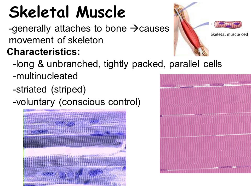 Skeletal Muscle -generally attaches to bone  causes movement of skeleton -voluntary (conscious control) Characteristics: -long & unbranched, tightly packed, parallel cells -multinucleated -striated (striped)