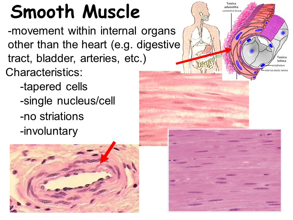 Smooth Muscle -movement within internal organs other than the heart (e.g.