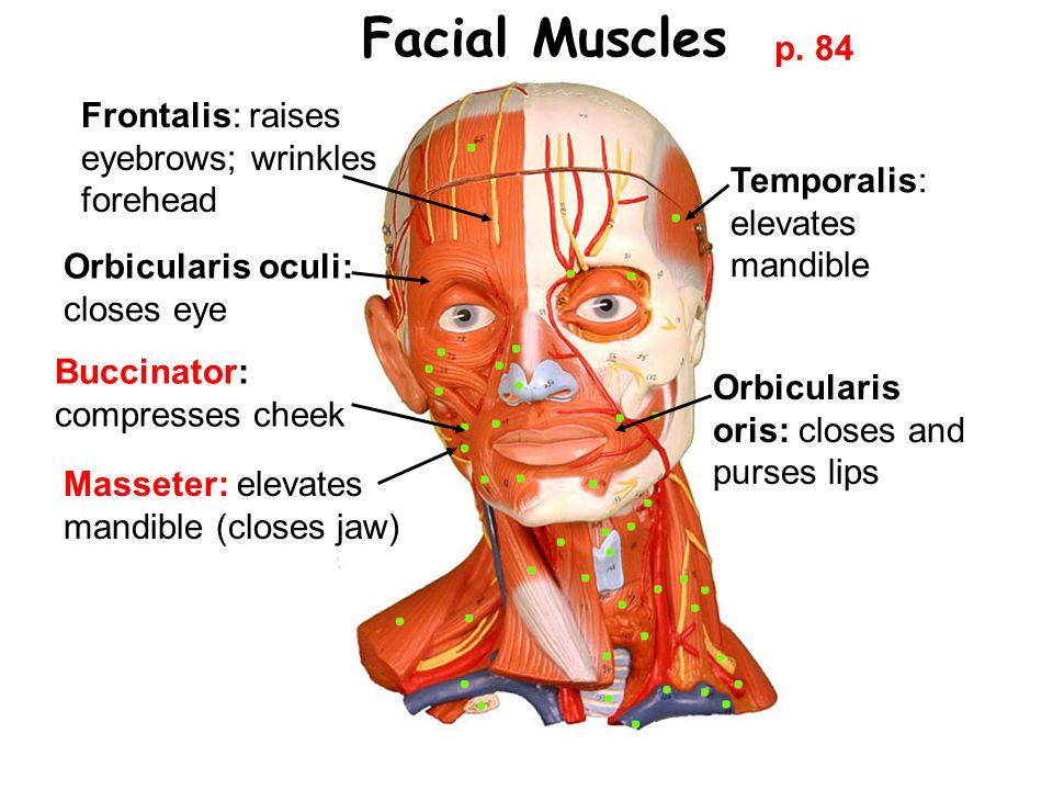 Facial Muscles Frontalis: raises eyebrows; wrinkles forehead Orbicularis oculi: closes eye Orbicularis oris: closes and purses lips Temporalis: elevates mandible Buccinator: compresses cheek Masseter: elevates mandible (closes jaw) p.