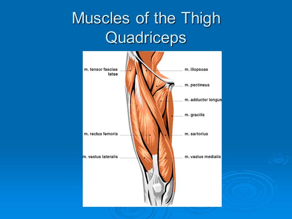 8.Brachialis Origin – humerus, below deltoid insertion Insertion – ulna Action – Arm Flexion
