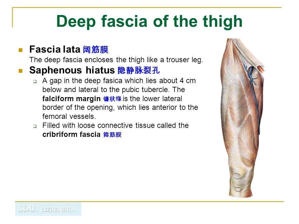 Deep fascia of the thigh Iliotibial tract 髂胫束 laterally the deep fascia forms a thick band, from the iliac tubercle to the lateral condyle of tibial.