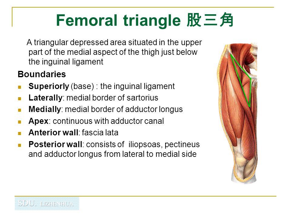 Femoral triangle 股三角 Contents Femoral n.Femoral sheath Femoral a.
