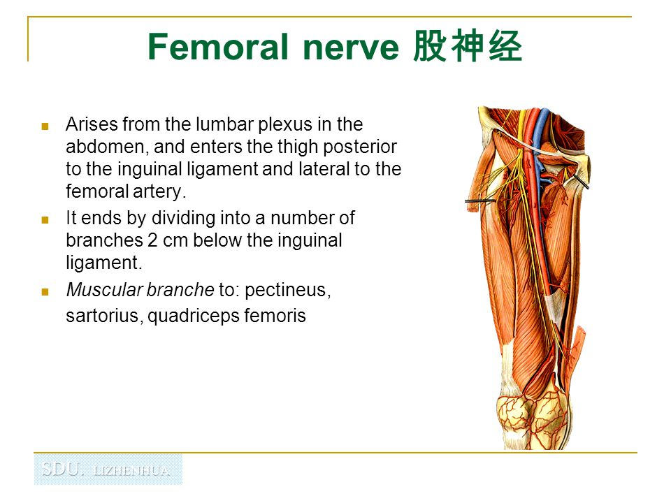 Femoral nerve 股神经 Cutaneous branches:  Anterior cutaneous nerves of the thigh  Saphenous nerve 隐神经 is the longest branch of the femoral nerve.