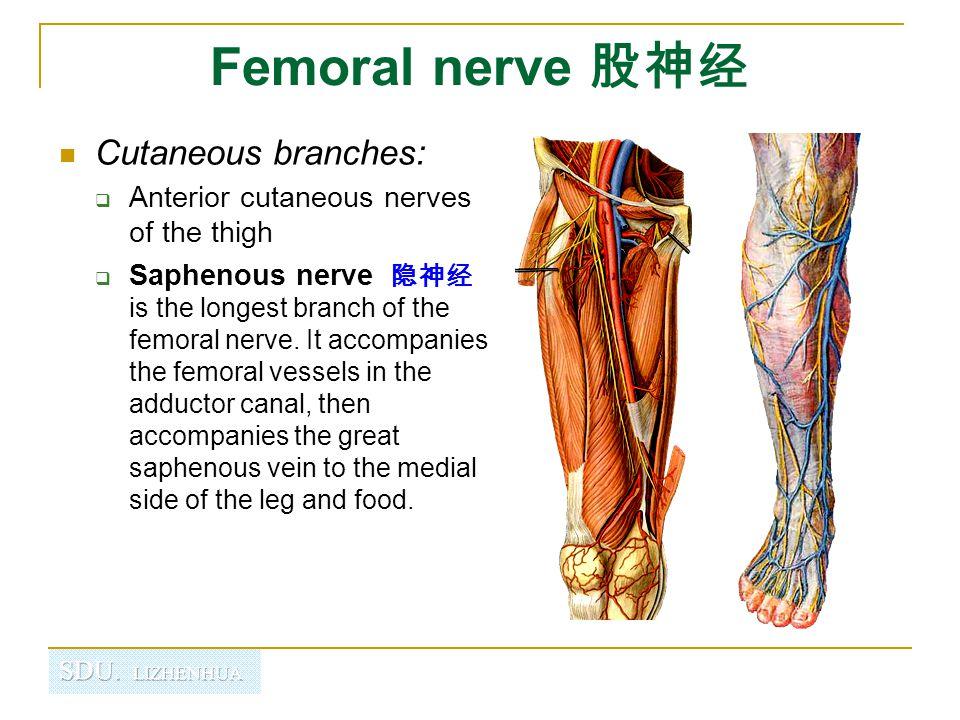 Femoral n. Femoral a. Femoral v. Saphenous nerve