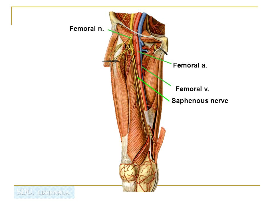 Adductor canal 收肌管 An intermuscular cleft situated on the medial aspect of the middle third of the thigh beneath the sartorius.