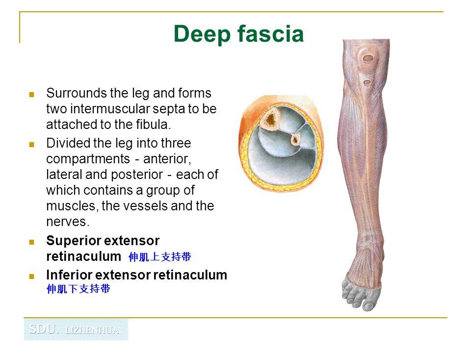 Contents of the anterior fascial compartment of the leg Muscles : Tibialis anterior Extensor digitorum longus Extensor hallucis longus Peroneus tertius Blood supply : Anterior tibial a.