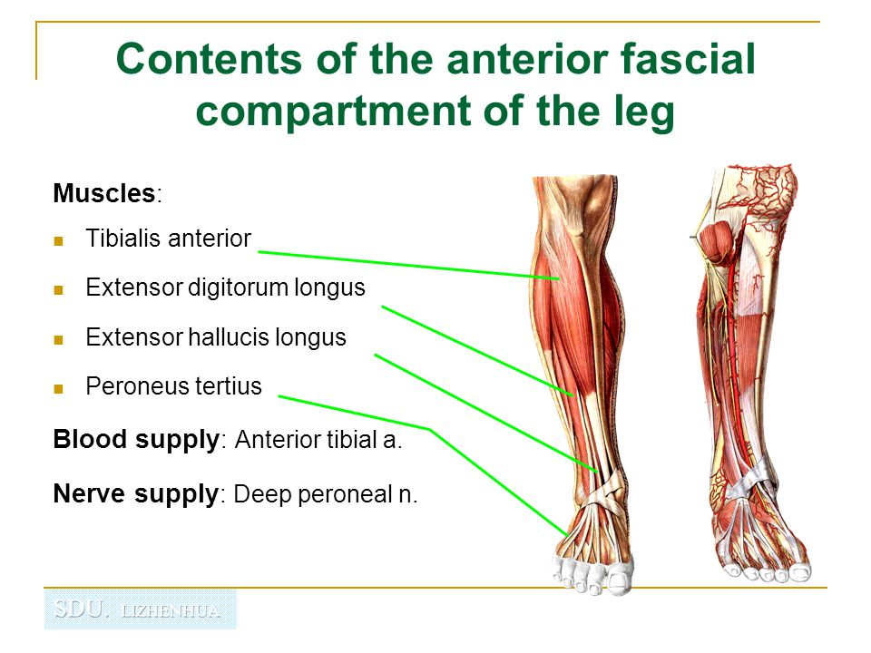 Contents of the anterior fascial compartment of the leg Anterior tibial artery 胫前动脉  Beginning: Arises from the popliteai artery at the lower border of popliteus.