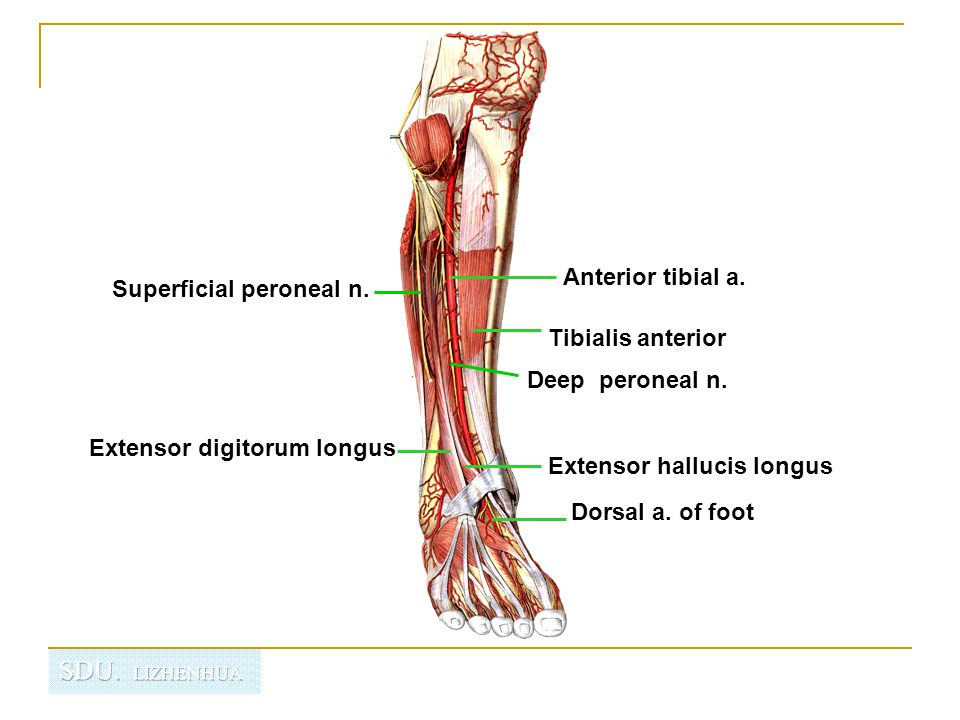Injury to the common peroneal nerve The common fibular nerve may be severed during fracture of the fibula neck or severely stretched when the knee joint is injured of dislocated.