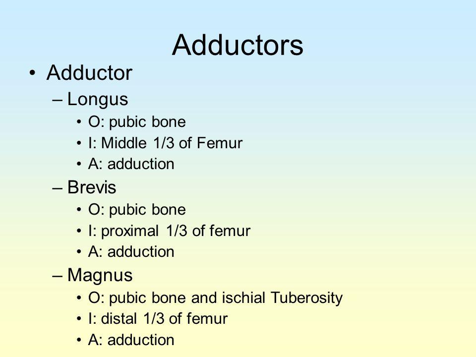 Adductors Adductor –Longus O: pubic bone I: Middle 1/3 of Femur A: adduction –Brevis O: pubic bone I: proximal 1/3 of femur A: adduction –Magnus O: pu