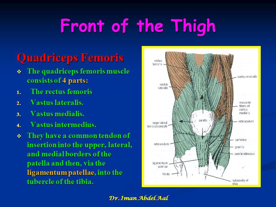 Front of the Thigh Quadriceps Femoris  The quadriceps femoris muscle consists of 4 parts: 1. The rectus femoris 2. Vastus lateralis. 3. Vastus medial