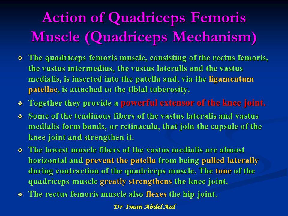 Action of Quadriceps Femoris Muscle (Quadriceps Mechanism)  The quadriceps femoris muscle, consisting of the rectus femoris, the vastus intermedius,