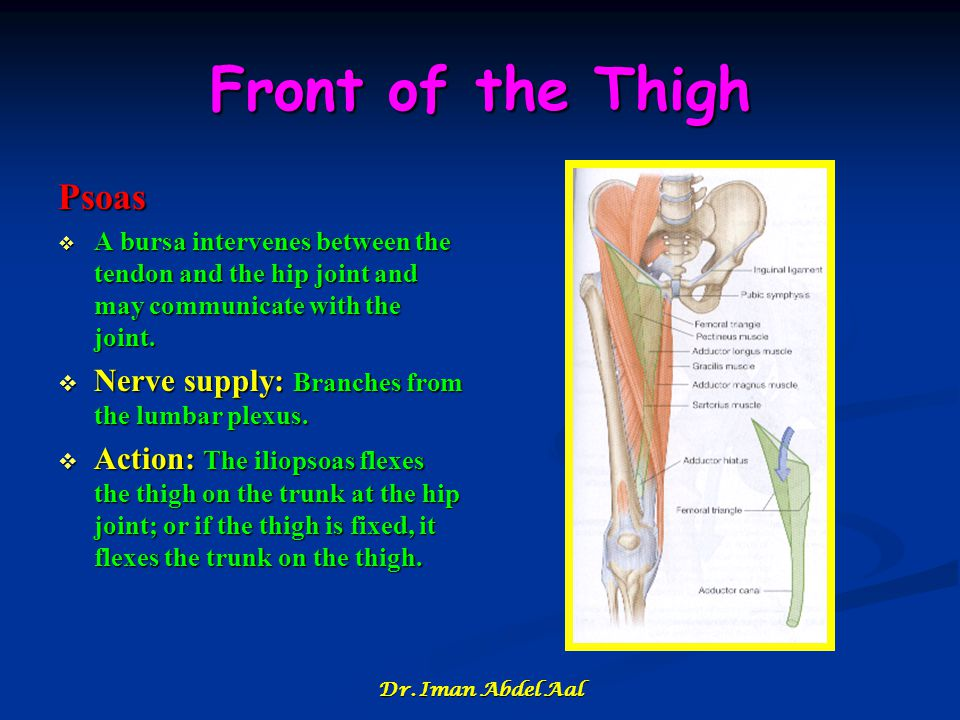 Front of the Thigh Psoas  A bursa intervenes between the tendon and the hip joint and may communicate with the joint.  Nerve supply: Branches from t