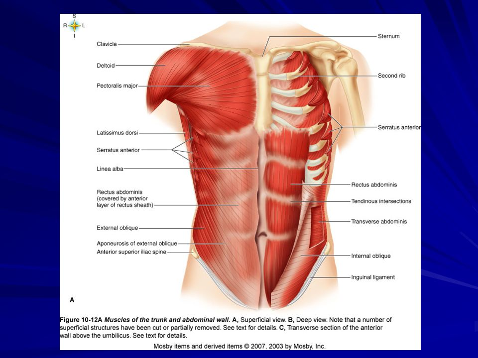 Muscles moving on Shoulder Girdle Trapezius- Raises or lowers shoulder and shrugs them Pectoralis minor- Pulls shoulder down and forward Serratus anterior- Pulls shoulder down and forward; abducts and rotates it upward Levator scapulae- Elevates and retracts scapula and abducts neck.