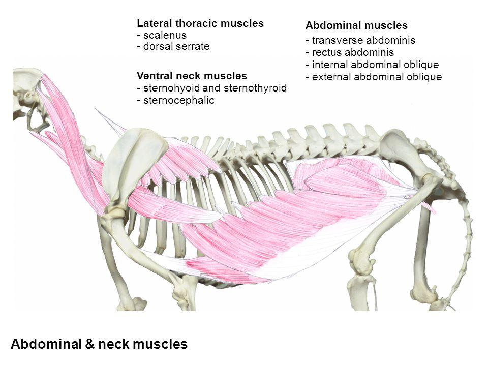 Abdominal muscles - transverse abdominis - rectus abdominis - internal abdominal oblique - external abdominal oblique - dorsal serrate - scalenus Late