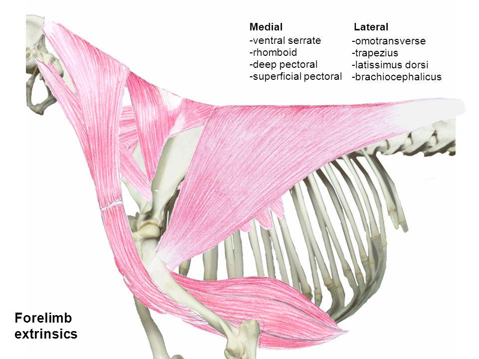 Forelimb extrinsics -ventral serrate -rhomboid -deep pectoral -superficial pectoral Lateral -latissimus dorsi -trapezius -omotransverse -brachiocephal