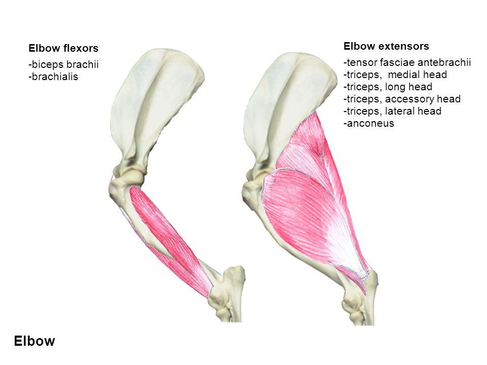 Elbow Elbow flexors -biceps brachii -brachialis Elbow extensors -tensor fasciae antebrachii -triceps, medial head -triceps, long head -triceps, access