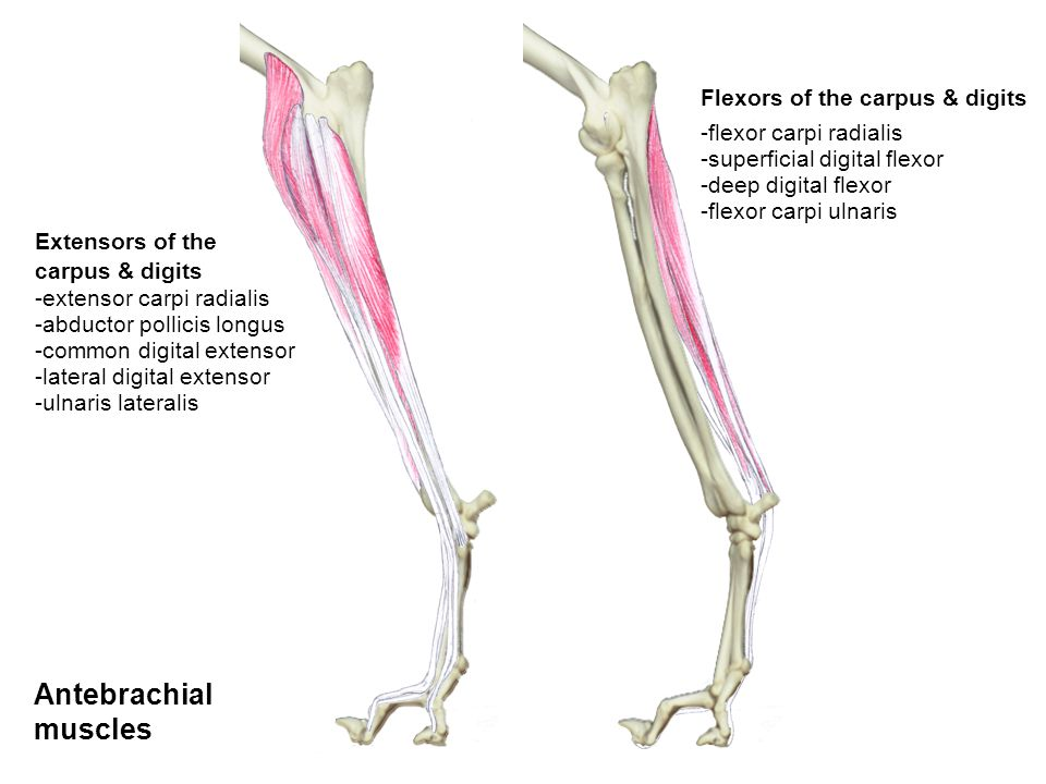 'Hamstrings' - semimembranosus - semitendinosus - biceps femoris Gluteals - deep gluteal - middle gluteal - superficial gluteal Hip extensors