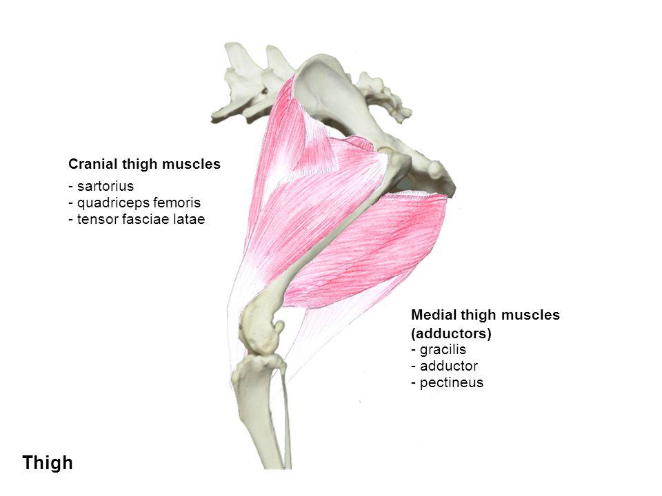 Cranial thigh muscles - sartorius - quadriceps femoris - tensor fasciae latae Medial thigh muscles (adductors) - pectineus - adductor - gracilis Thigh