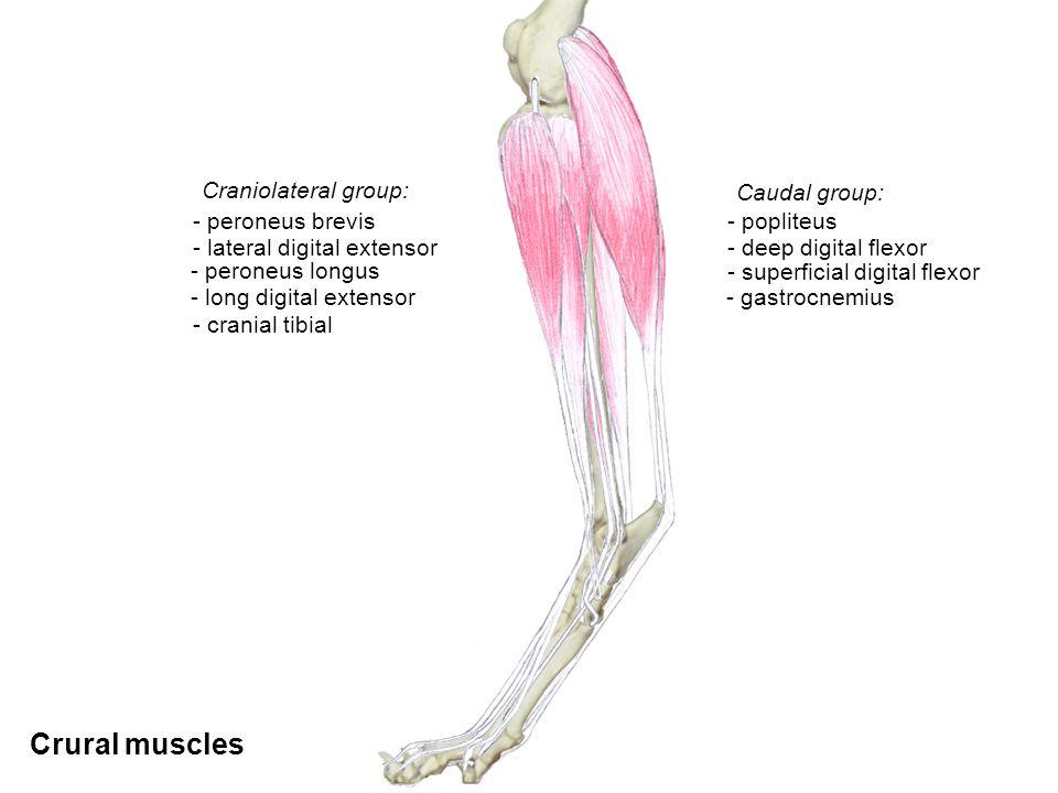 Epaxial - transversospinalis - longissimus - iliocostalis - splenius Hypaxial - quadratus lumborum - psoas minor - longus colli and capitis - iliopsoas Vertebral muscles