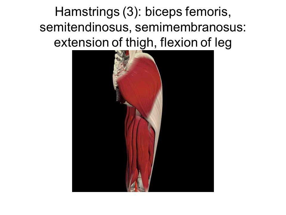 Hamstrings (3): biceps femoris, semitendinosus, semimembranosus: extension of thigh, flexion of leg