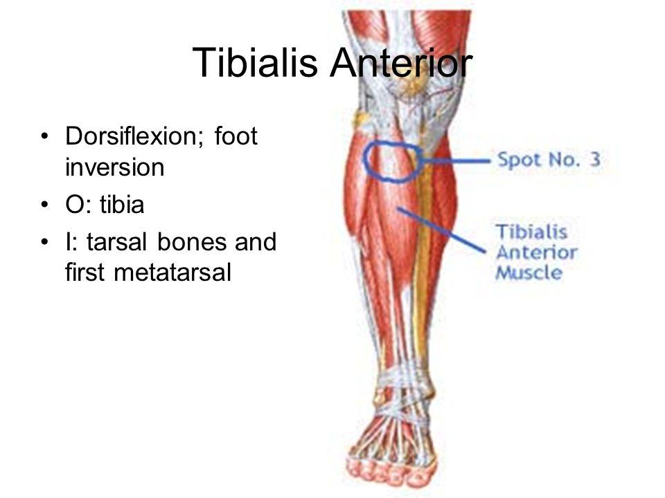 Tibialis Anterior Dorsiflexion; foot inversion O: tibia I: tarsal bones and first metatarsal