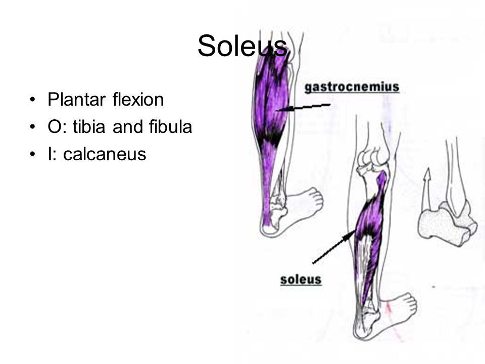 Soleus Plantar flexion O: tibia and fibula I: calcaneus