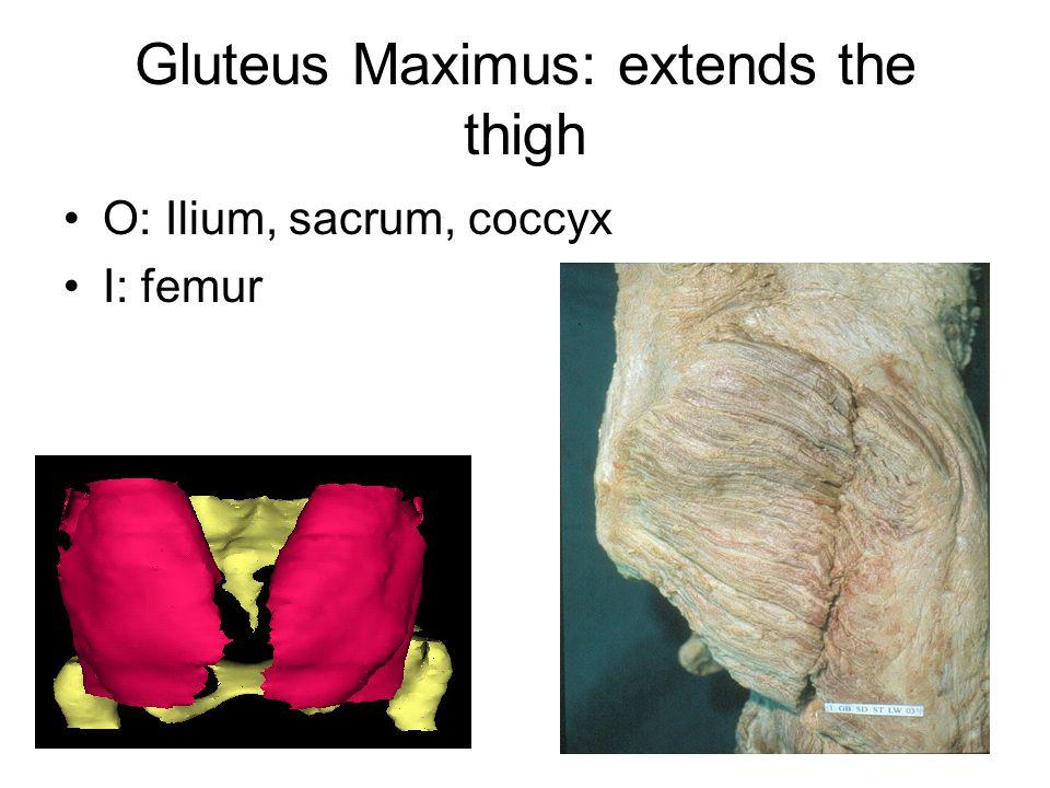 Gluteus Maximus: extends the thigh O: Ilium, sacrum, coccyx I: femur