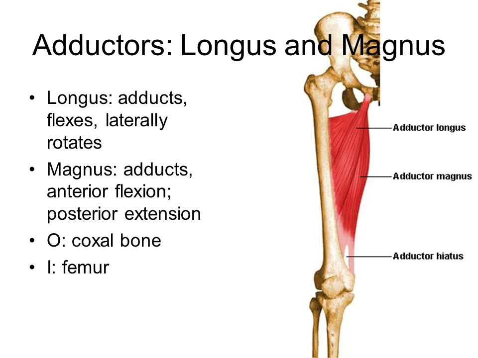 Adductors: Longus and Magnus Longus: adducts, flexes, laterally rotates Magnus: adducts, anterior flexion; posterior extension O: coxal bone I: femur