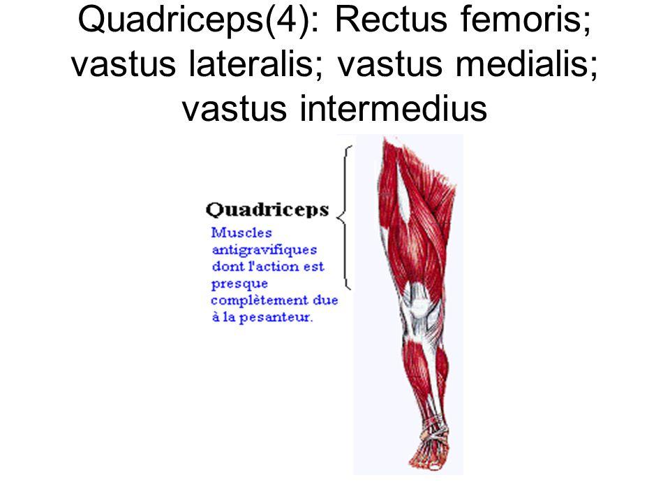 Quadriceps(4): Rectus femoris; vastus lateralis; vastus medialis; vastus intermedius