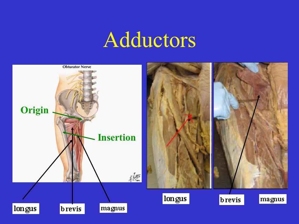 Adductors Origin Insertion