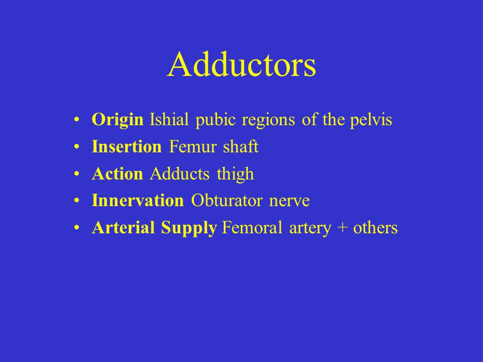 Adductors Origin Ishial pubic regions of the pelvis Insertion Femur shaft Action Adducts thigh Innervation Obturator nerve Arterial Supply Femoral art