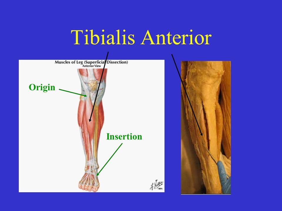 Tibialis Anterior Origin Insertion