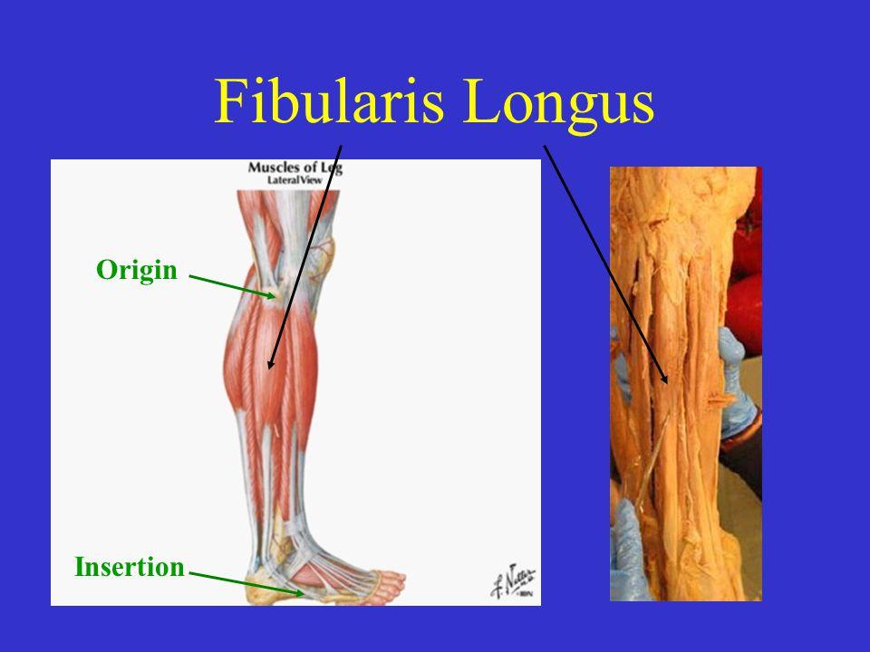 Fibularis Longus Origin Insertion