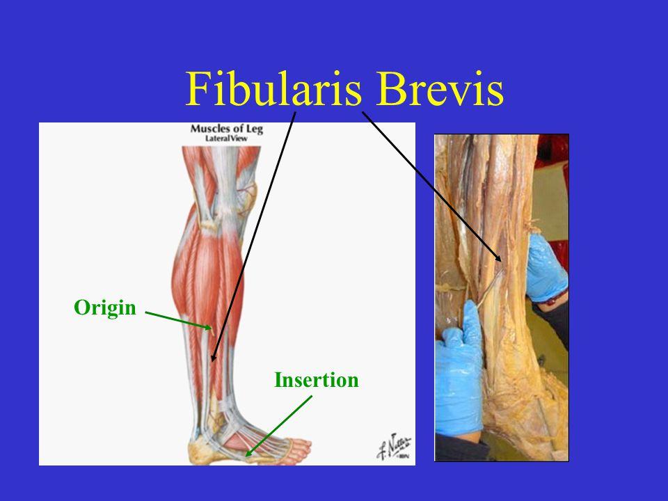 Fibularis Brevis Origin Insertion