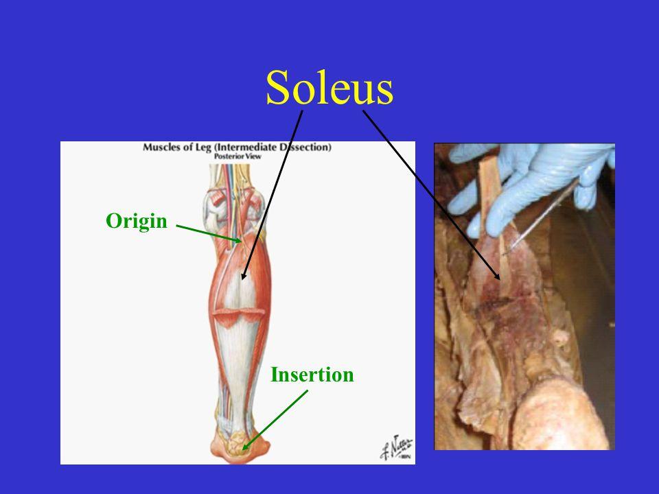 Soleus Origin Insertion