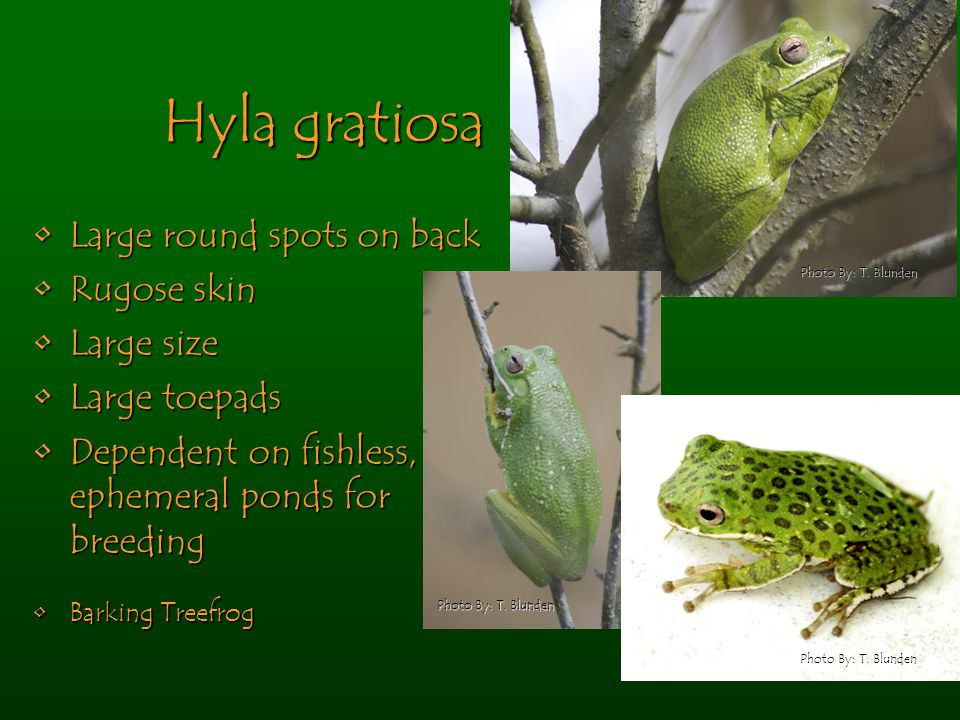 Hyla gratiosa Large round spots on backLarge round spots on back Rugose skinRugose skin Large sizeLarge size Large toepadsLarge toepads Dependent on fishless, ephemeral ponds for breedingDependent on fishless, ephemeral ponds for breeding Barking TreefrogBarking Treefrog Photo By: T.