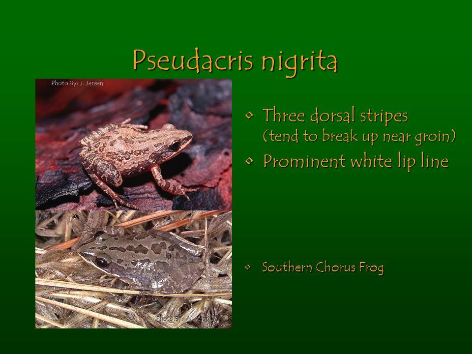 Pseudacris nigrita Three dorsal stripes (tend to break up near groin)Three dorsal stripes (tend to break up near groin) Prominent white lip linePromin