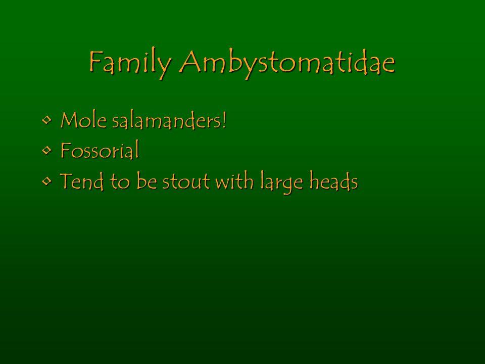 Family Ambystomatidae Mole salamanders!Mole salamanders! FossorialFossorial Tend to be stout with large headsTend to be stout with large heads