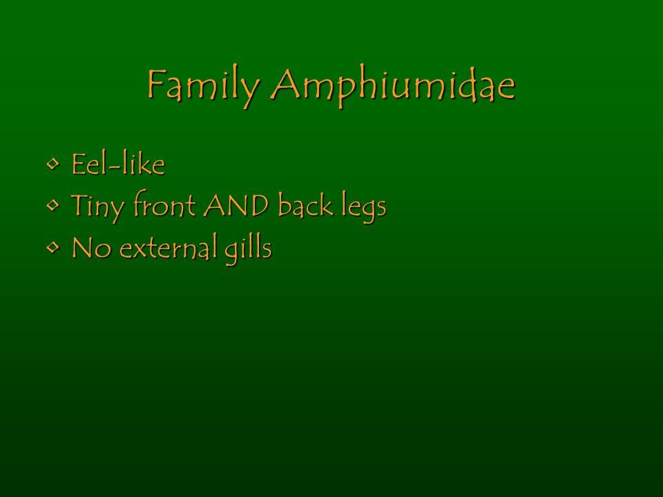 Family Amphiumidae Eel-likeEel-like Tiny front AND back legsTiny front AND back legs No external gillsNo external gills