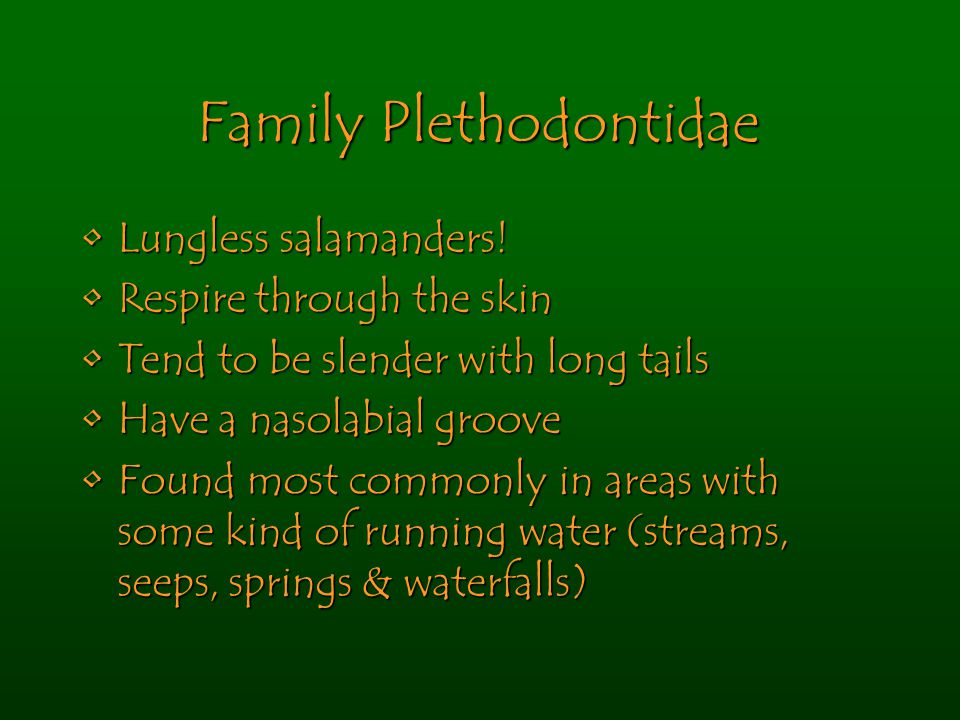 Family Plethodontidae Lungless salamanders!Lungless salamanders! Respire through the skinRespire through the skin Tend to be slender with long tailsTe