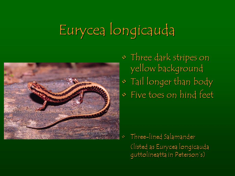 Eurycea longicauda Three dark stripes on yellow backgroundThree dark stripes on yellow background Tail longer than bodyTail longer than body Five toes on hind feetFive toes on hind feet Three-lined SalamanderThree-lined Salamander (listed as Eurycea longicauda guttolineatta in Peterson's) Photo By: J.