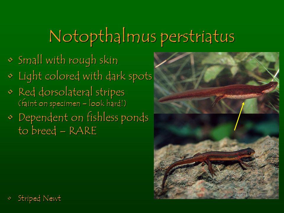 Notopthalmus perstriatus Small with rough skinSmall with rough skin Light colored with dark spotsLight colored with dark spots Red dorsolateral stripe