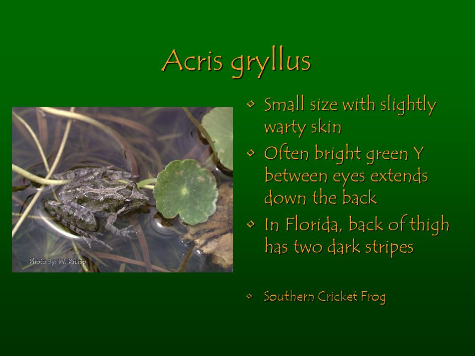 Acris gryllus Small size with slightly warty skinSmall size with slightly warty skin Often bright green Y between eyes extends down the backOften bright green Y between eyes extends down the back In Florida, back of thigh has two dark stripesIn Florida, back of thigh has two dark stripes Southern Cricket FrogSouthern Cricket Frog Photo By: W.